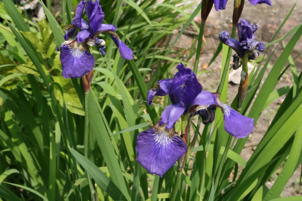 Deep blue irises …